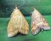 Omacnica samica L i samiec R (2)
