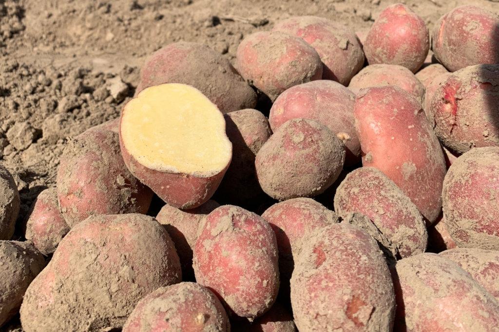 ziemniaki-czerwone