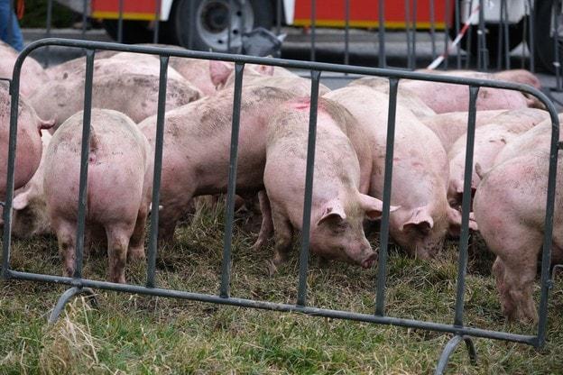 wypadek-świnie