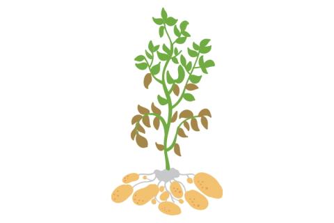 Katalog odmian ziemniaków Agro Profil