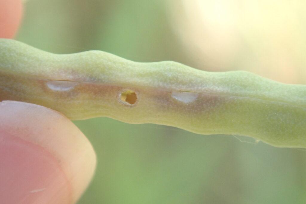 Otwór w łuszczynie po wyjściu larwy chowacza podobnika