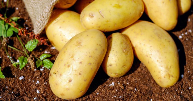 """""""Ziemniaki pod lupą Syngenta. Zadbaj o jakość już na polu"""""""