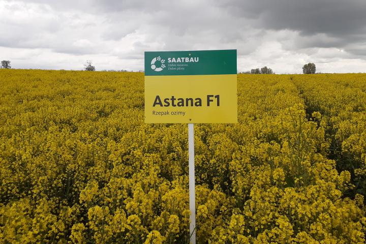 Rzepak ozimy - odmiana Astana F1