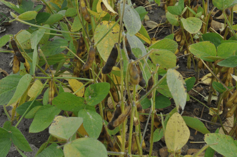 Uprawa soi