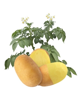 Ziemniaki Lady Amarilla