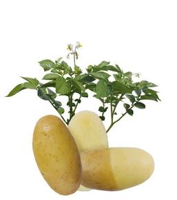 Ziemniaki Lady Anna