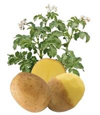 Ziemniaki Lady Britta