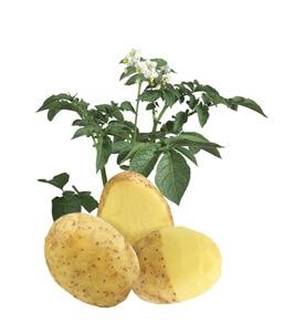 Ziemniaki Lady Claire
