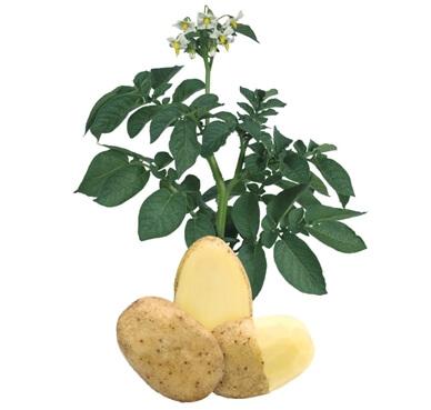 Ziemniaki Lady Terra