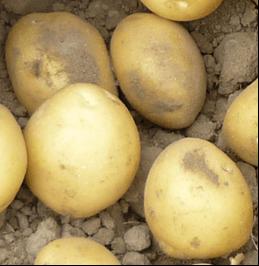 Ziemniaki Alegria