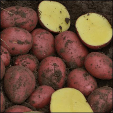Ziemniaki Baltic Rose