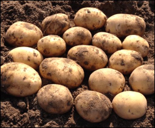 Ziemniaki Mia