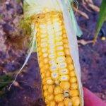 Wysoka temperatura zabija kukurydzę. Nie ma na co czekać ze zbiorem