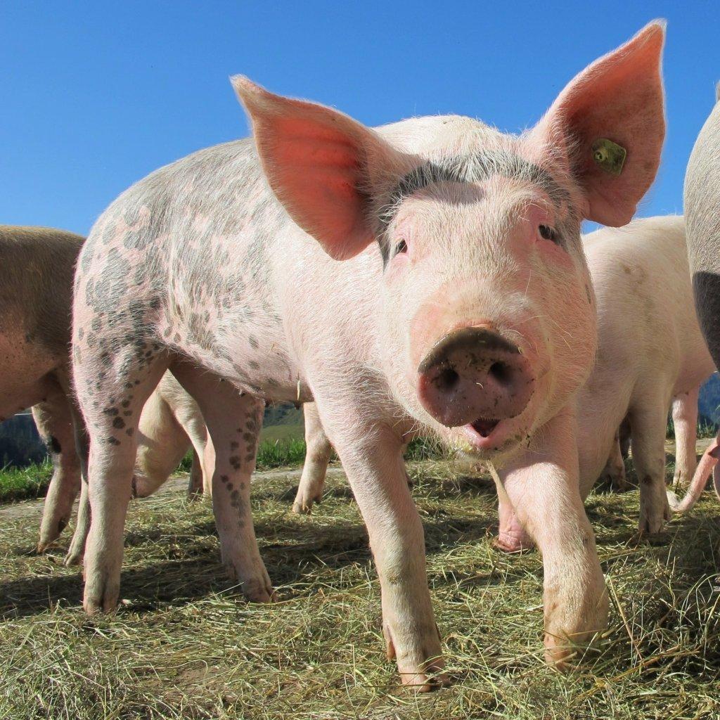 Swinie ASF Wirus