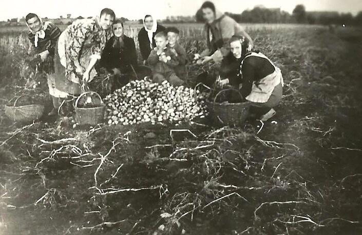Zbieranie ziemniaków - wykopki