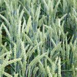 Wysoka skuteczność działania podstawą dobrego fungicydu